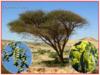 Akácie arabská - semena