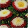 Astra Pompon Red and White - semena