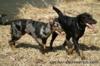 Beauceron štěňata Slzy Katharů - foto 1