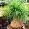 Beucarnea guatemalis - semena