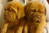 Bordeauxská doga - prodám kvalitní štěňátka s PP - foto 1