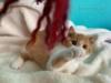 Britská koťátka s PP - foto 1