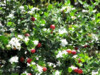 Carrisa Grandiflora - semena