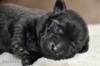 Čierne šteniatka labra