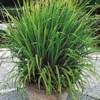 Citronová tráva - semena