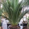 Cycas Macrozamia communis - naklíčená semena