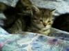 Daruji křížená koťátka