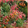 Eccremocarpus Scaber Mix barev - semena