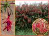 Fuchsia Magellanica - semena