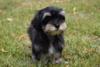 Havanský psík -  s PP - foto 1