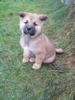Hezký štěně Akita Inu