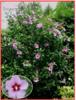 Hibiscus Syriacus L - semena