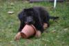 Hovawart - štěně