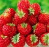 Jahodník Red Dream - Malinové jahody - semena