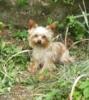 Jorkšírský teriér/Yorkshire terrier