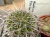 Kaktus Acanthocalycium klimpelianum P 120-semena