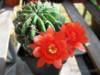 Kaktus Lobivia Maximiliana - semena