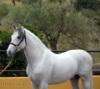 Klidný a úžasný andaluský hřebec k dispozici - foto 1