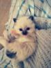 Krásná koťátka birmy posvátné s PP - foto 1