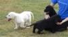 Labradorské štěňátka.