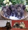 Mainská mývalí koťata s PP na prodej