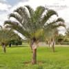 Naklíčená semena Palma Dypsis decaryi - foto 1