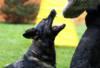 Německý ovčák s PP štěně - foto 1