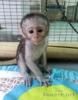 Prodám Kapucinsky opice