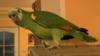 Prodám papouška