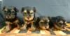 Prodám Yorkšírské teriéry 3 pejsky jsou čistokrevn - foto 1
