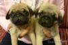 Pug - Mops - Carlin - zadám béžová štěňata s PP