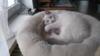 Ragdoll kočička s PP na luxusního mazlíčka
