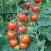 Rajče Bejbíno - semena
