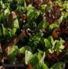 Salát Směs mladých listů k řezu- semena
