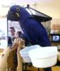 Sladké Hyacint papoušci pro prodej