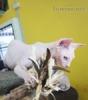 Sphynx a Peterhollyho kočky pro vaše domovy.
