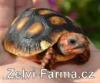 Suchozemské želvy uhlířské – odchov!