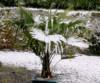 Trachycarpus Fortunei - naklíčená semena