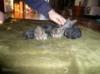 Zakrslí králíčci beránci čistokrevní REX nar 15.4.