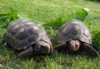 Želva uhlířská - chovné kusy