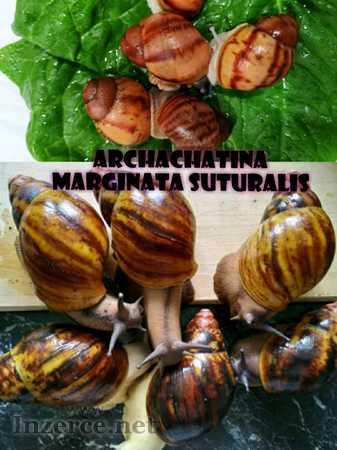 Afriční šneci - Archachatina Marginata SUTURALIS