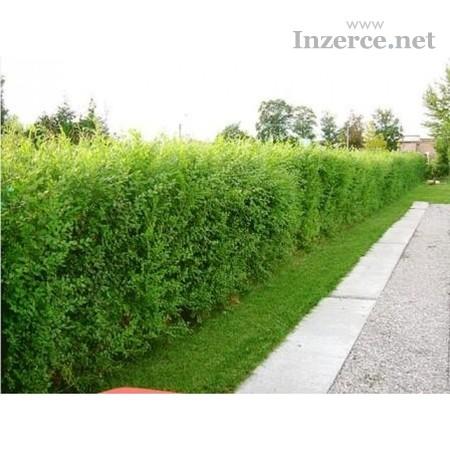 AKCE: Kouzelný (zázračný) živý plot - SUPER CENA!