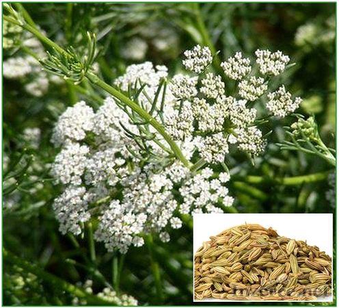Anýz - semena