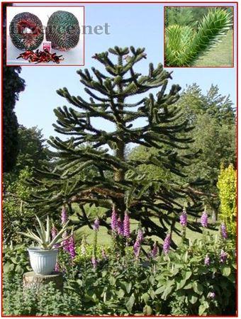 Araucaria araucana - naklíčená semena