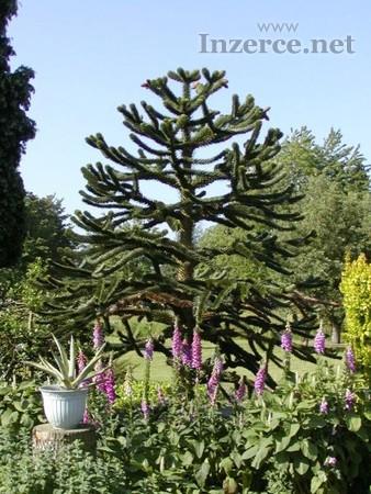 Araucaria araucana - naklíčené semeno