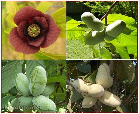 Asimina Triloba - Stratifikovaná semena