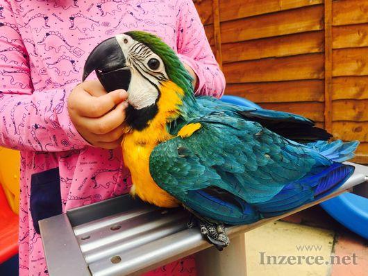 Baby Blue a Gold Macaw ručně