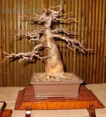 Baobab Adansonia Digitata - sazenice