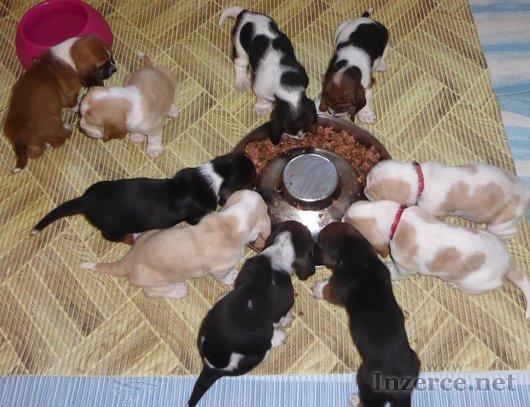 Basset hound štěně