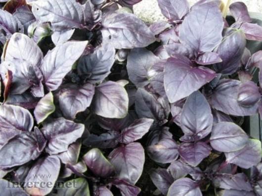 Bazalka červená - semena